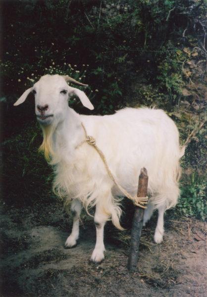 Goat, 2009, C-print, 50 X 75 cm, Edition of 3 + 2AP - © Vincent Delbrouck